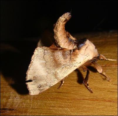 mariposaescorpiao1