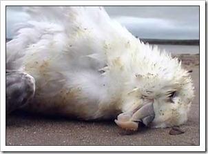 _44419698_dead_seagull