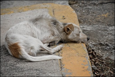 Cuban-stray-dog